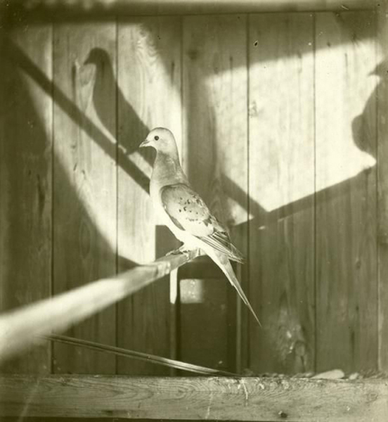 Photograph of a female passenger pigeon (Ectopistes migratorius) in captivity, 1896.
